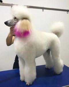 características del caniche gigante