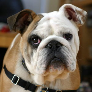 caracteristicas de la raza de perro bulldog