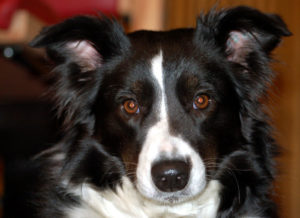 caracteristicas del border collie
