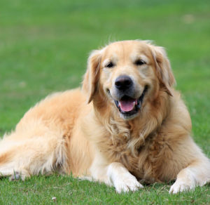características del golden retriever