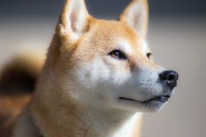 características del shiba inu