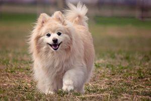 características del perro pomerania
