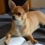 perro pequeño de raza chihuahua