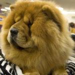 imagen del perro chow chow