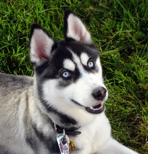 características del perro husky siberiano