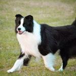 perro grande raza border collie