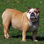 perro pequeño de raza bulldog