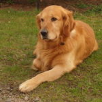 perro grande de raza golden retriever