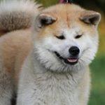 perro grande de raza shiba inu