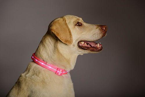 Un perro usando el mejor collar Collar de Seguridad Led Blazin