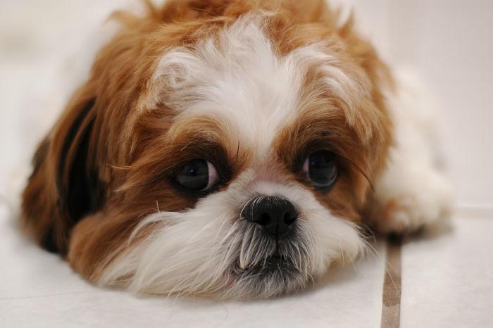 Características del perro Shih Tzu