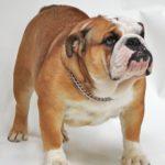 imagen del Bulldog