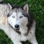imagen del husky siberiano