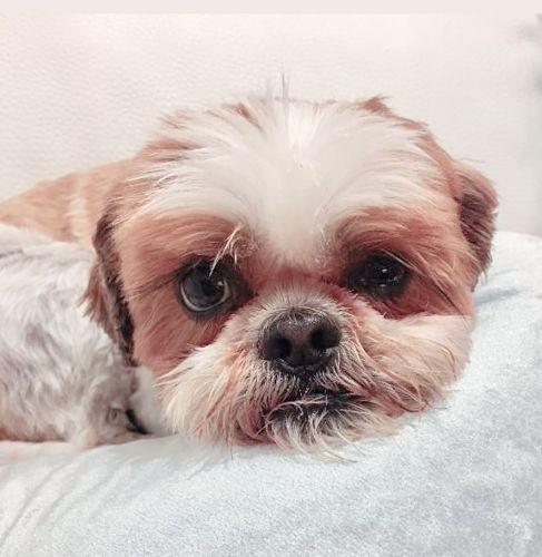 Información del perro de raza Shih Tzu